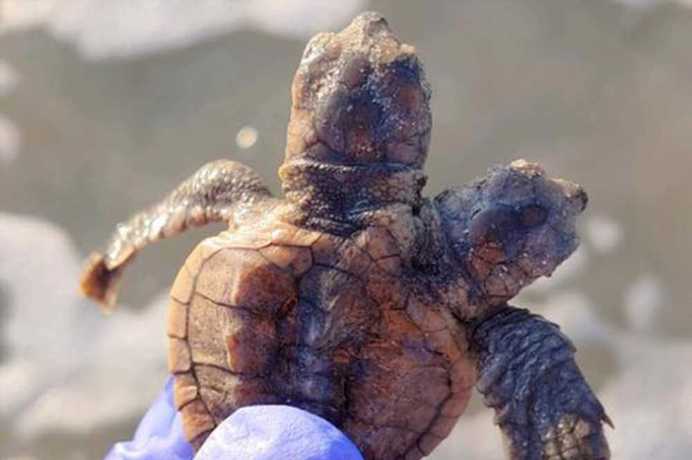 Two-headed turtle spotted on South Carolina beach