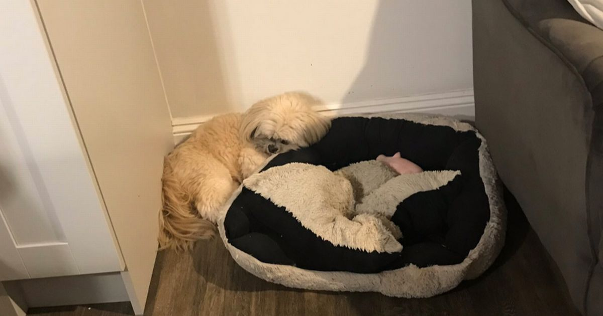 Loyal dog grieves for his best pal on favourite sleeping spot a year after death