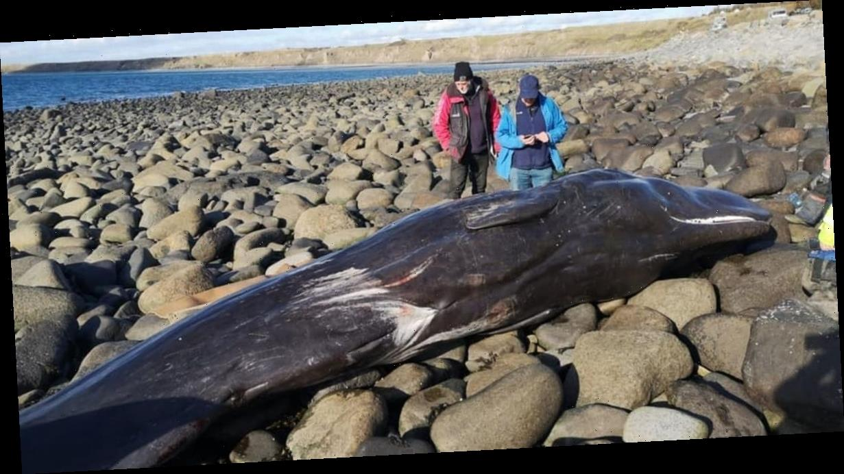 'Youngest ever' sperm whale washes up on UK beach as public urged to stay away