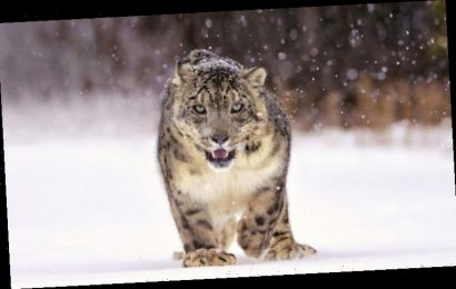 A snow leopard dies every day… but we can save them if we take urgent action