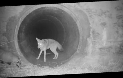 Heartwarming video captures moment coyote and badger form unlikely friendship