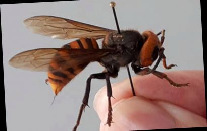 Japanese honeybees learned how to 'cook' Asia's murder hornets to death