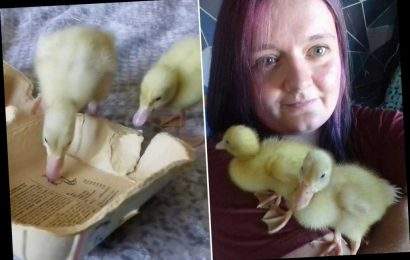 Bored woman hatches ducklings from grocery store eggs