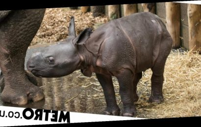British safari park welcomes its first Indian rhino in 47 years