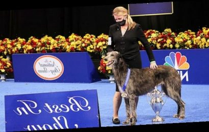 Claire The Scottish Deerhound Wins Best In Show At National Dog Show