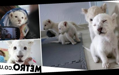 Super rare white lion quadruplets prepare to meet the public for the first time