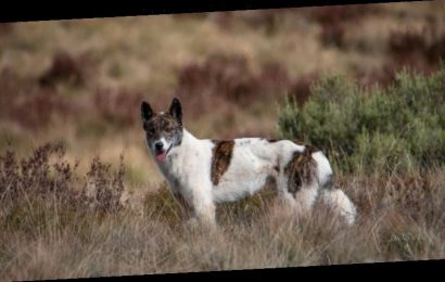 Colour little help in telling a dingo from a wild dog, research shows