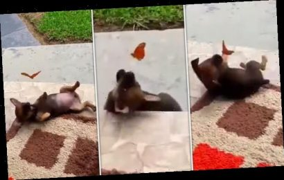 Adorable footage shows butterfly and a puppy playing together