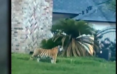 Manhunt underway after suspect flees police with pet tiger in Houston