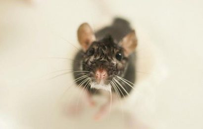 How rats can climb up through YOUR toilet – do you need to worry?